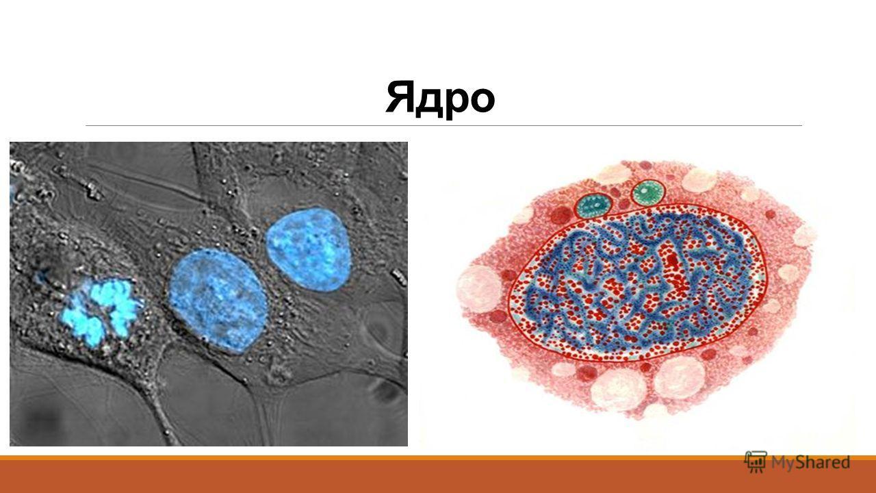 Ядро Самая заметная и обычно самая крупная органелла клетки. Впервые было подробно исследовано Робертом Броуном в 1831 году. По форме может быть шаровидным, овальным, лопастным, линзовидным.
