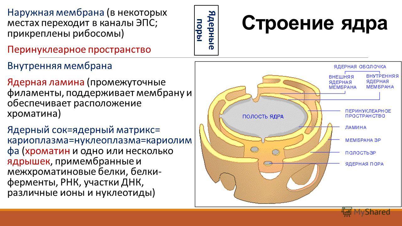 Строение ядра Наружная мембрана (в некоторых местах переходит в каналы ЭПС; прикреплены рибосомы) Перинуклеарное пространство Внутренняя мембрана Ядерная ламина (промежуточные филаменты, поддерживает мембрану и обеспечивает расположение хроматина) Яд