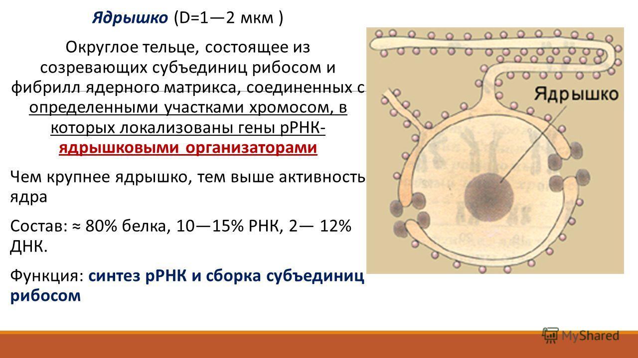 Ядрышко (D=12 мкм ) Округлое тельце, состоящее из созревающих субъединиц рибосом и фибрилл ядерного матрикса, соединенных с определенными участками хромосом, в которых локализованы гены рРНК- ядрышковыми организаторами Чем крупнее ядрышко, тем выше а