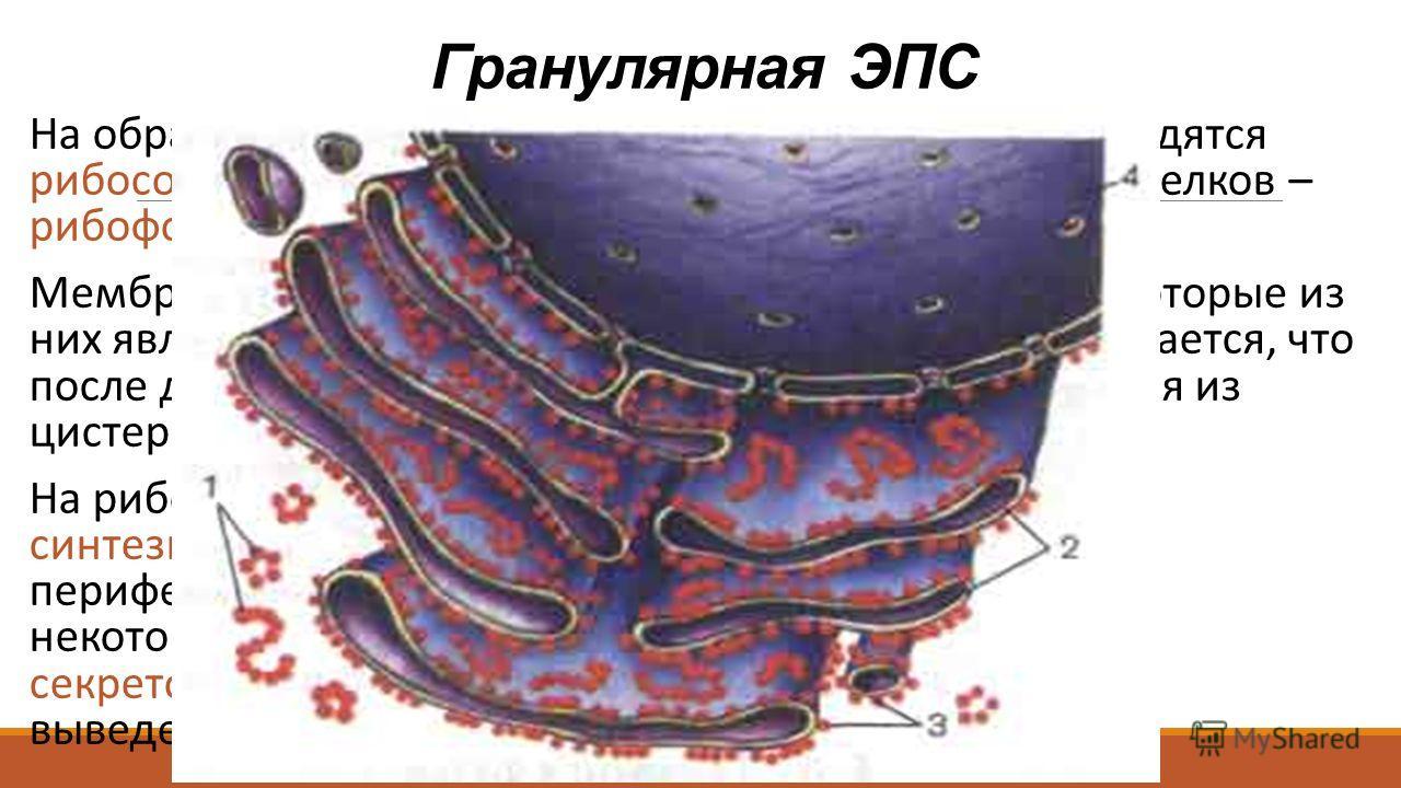 На обращенной к цитоплазме стороне мембраны находятся рибосомы и полисомы, присоединенные с помощью белков – рибофоринов (встроены в мембраны). Мембрана связаны с ядерной оболочкой, причем некоторые из них являются прямым продолжением последней. Счит