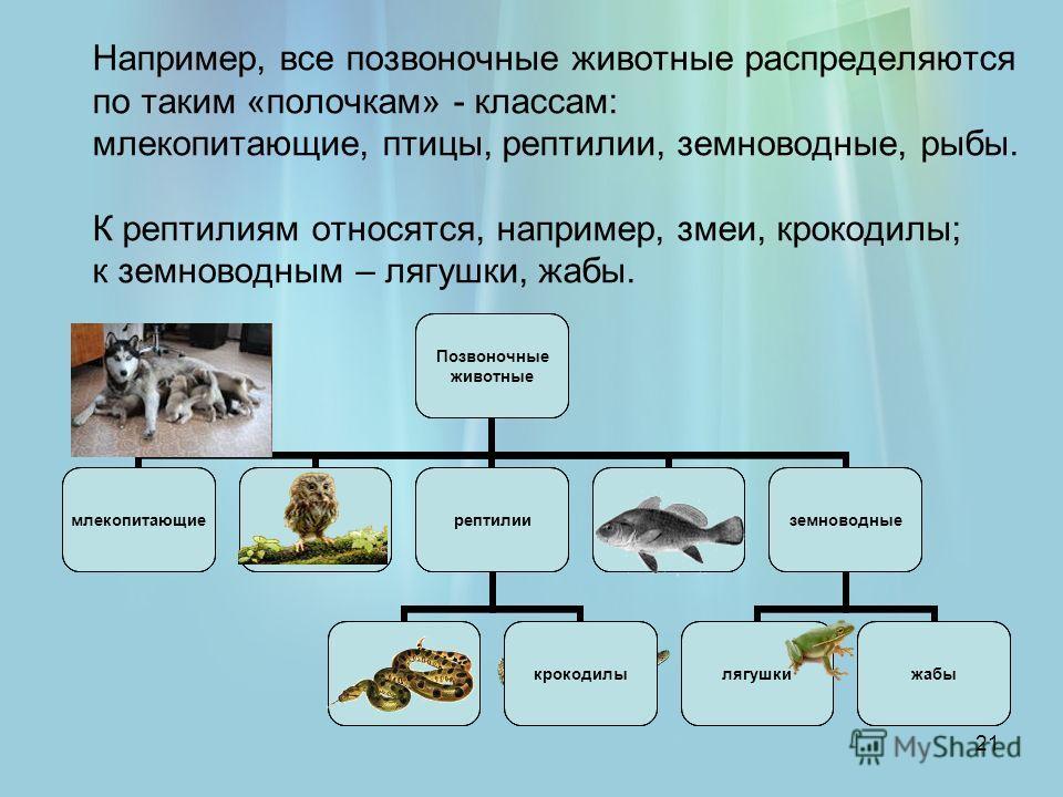 21 Например, все позвоночные животные распределяются по таким «полочкам» - классам: млекопитающие, птицы, рептилии, земноводные, рыбы. К рептилиям относятся, например, змеи, крокодилы; к земноводным – лягушки, жабы.