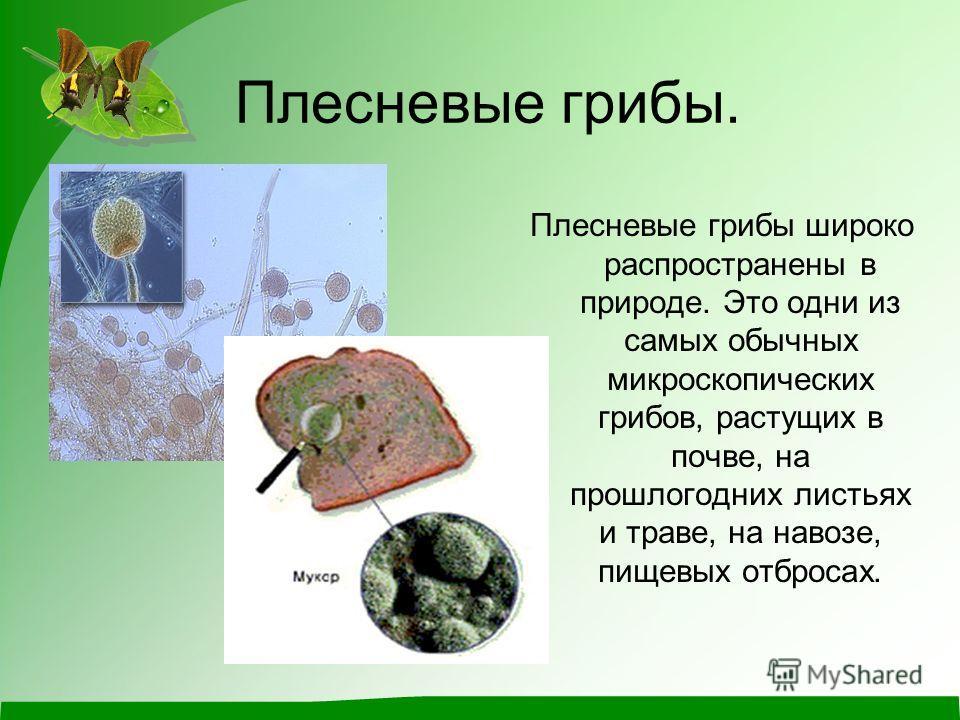 Плесневые грибы. Плесневые грибы широко распространены в природе. Это одни из самых обычных микроскопических грибов, растущих в почве, на прошлогодних листьях и траве, на навозе, пищевых отбросах.