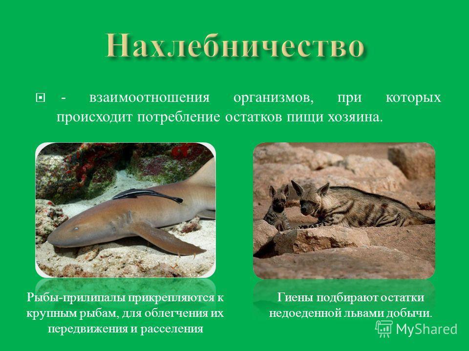 - взаимоотношения организмов, при которых происходит потребление остатков пищи хозяина. Гиены подбирают остатки недоеденной львами добычи. Рыбы-прилипалы прикрепляются к крупным рыбам, для облегчения их передвижения и расселения