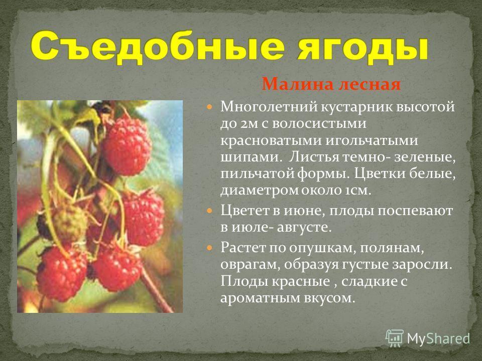 Малина лесная Многолетний кустарник высотой до 2 м с волосистыми красноватыми игольчатыми шипами. Листья темно- зеленые, пильчатой формы. Цветки белые, диаметром около 1 см. Цветет в июне, плоды поспевают в июле- августе. Растет по опушкам, полянам,