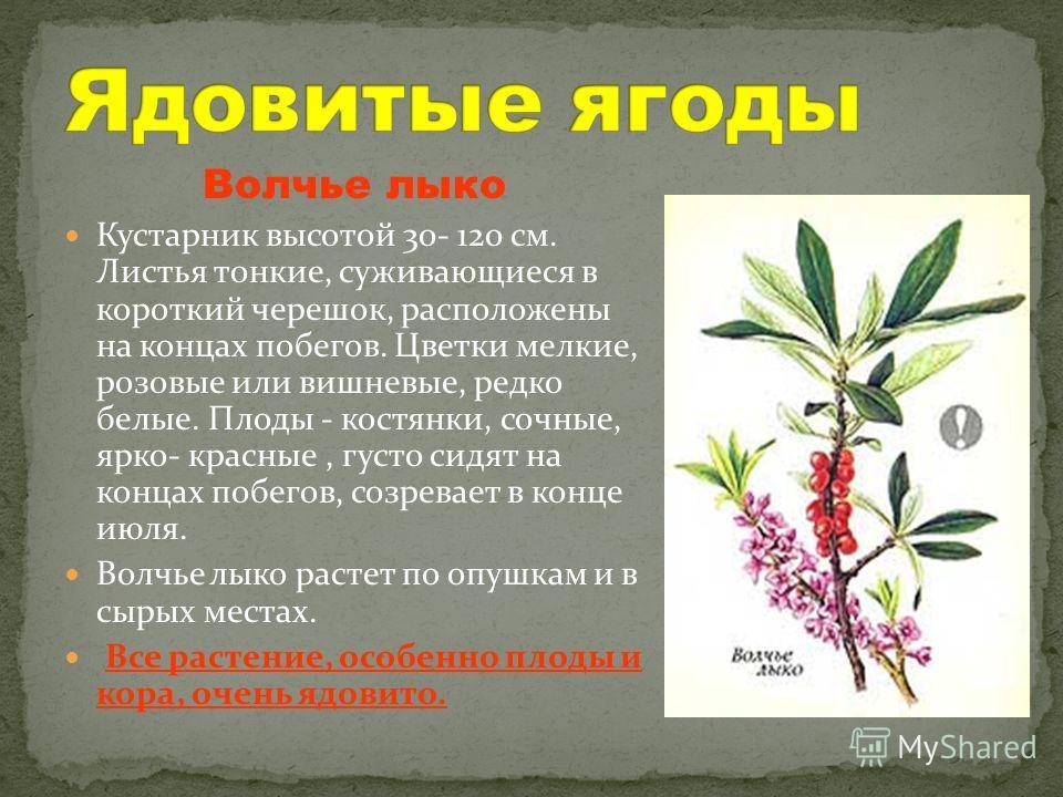 Волчье лыко Кустарник высотой 30- 120 см. Листья тонкие, суживающиеся в короткий черешок, расположены на концах побегов. Цветки мелкие, розовые или вишневые, редко белые. Плоды - костянки, сочные, ярко- красные, густо сидят на концах побегов, созрева