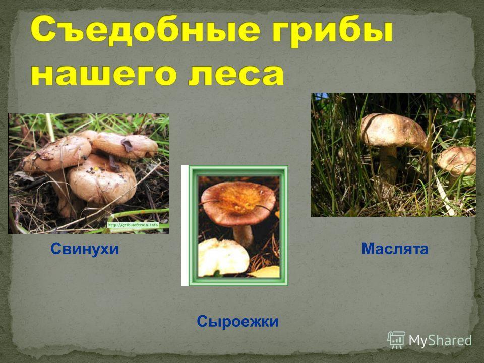 Свинухи Сыроежки Маслята