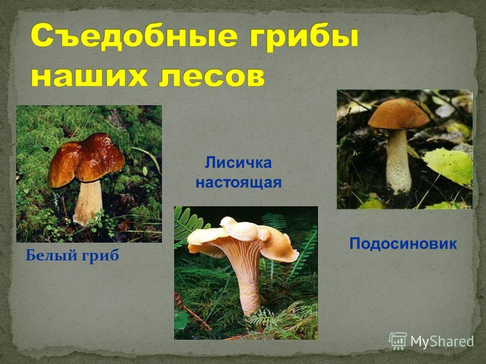 Белый гриб Лисичка настоящая Подосиновик