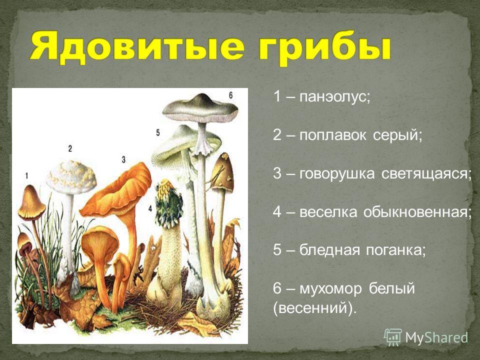 1 – панэолус; 2 – поплавок серый; 3 – говорушка светящаяся; 4 – веселка обыкновенная; 5 – бледная поганка; 6 – мухомор белый (весенний).