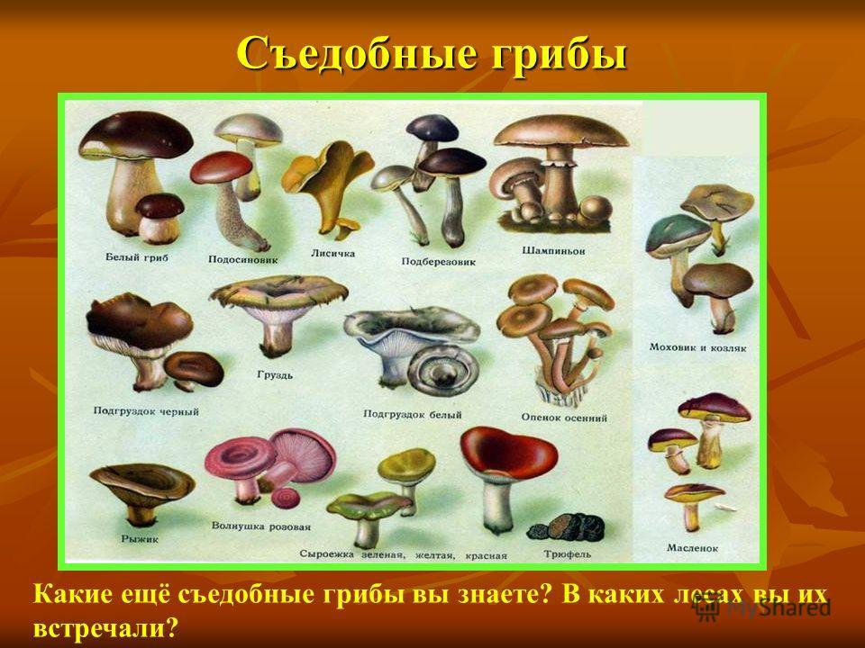 Съедобные грибы Какие ещё съедобные грибы вы знаете? В каких лесах вы их встречали?