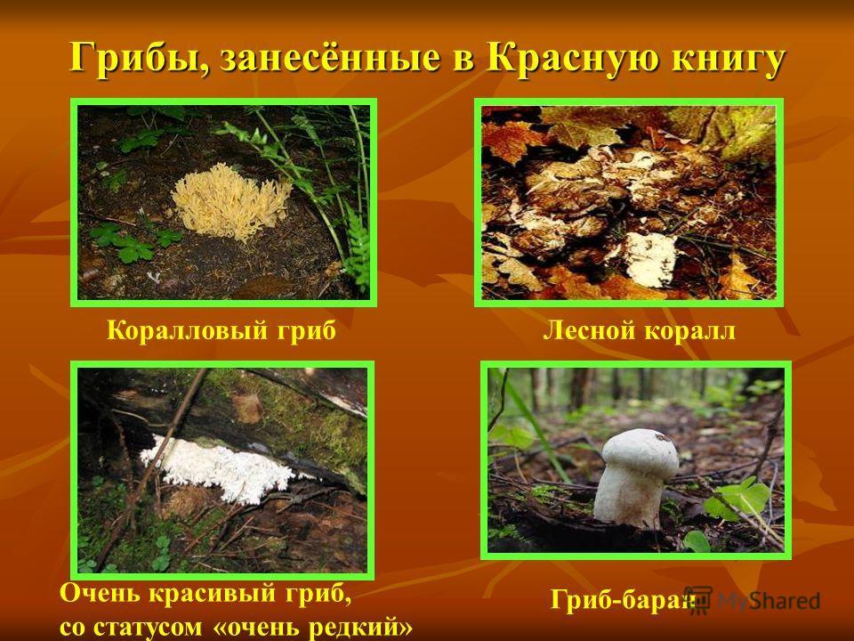 Грибы, занесённые в Красную книгу Коралловый гриб Очень красивый гриб, со статусом «очень редкий» Гриб-баран Лесной коралл