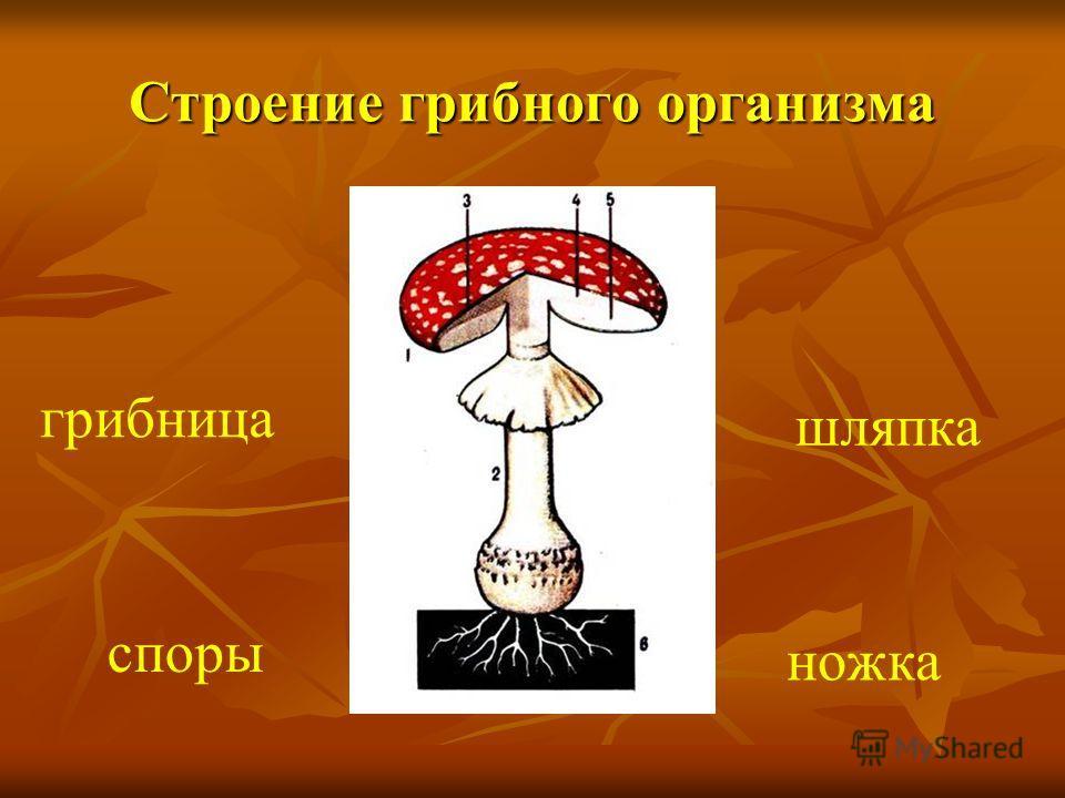 Строение грибного организма грибница споры ножка шляпка