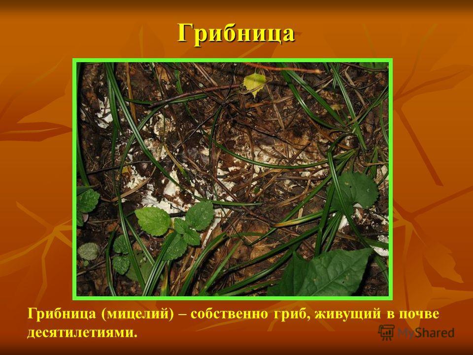 Грибница Грибница (мицелий) – собственно гриб, живущий в почве десятилетиями.
