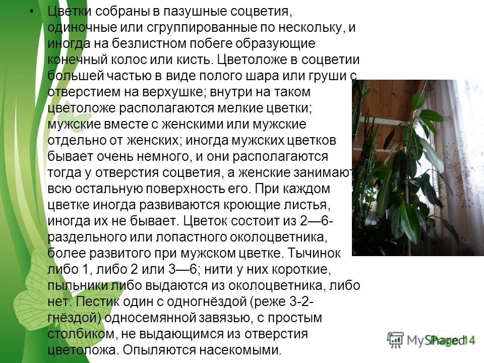 Powerpoint Templates Page 14 Free Powerpoint TemplatesPage 14 Цветки собраны в пазушные соцветия, одиночные или сгруппированные по нескольку, и иногда на безлистном побеге образующие конечный колос или кисть. Цветоложе в соцветии большей частью в вид
