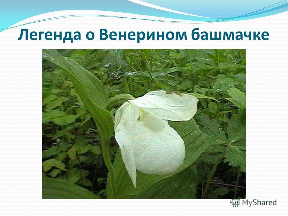 Легенда о Венерином башмачке