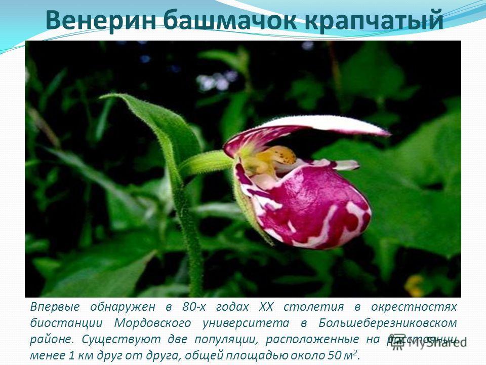 Венерин башмачок крапчатый Впервые обнаружен в 80-х годах XX столетия в окрестностях биостанции Мордовского университета в Большеберезниковском районе. Существуют две популяции, расположенные на расстоянии менее 1 км друг от друга, общей площадью око