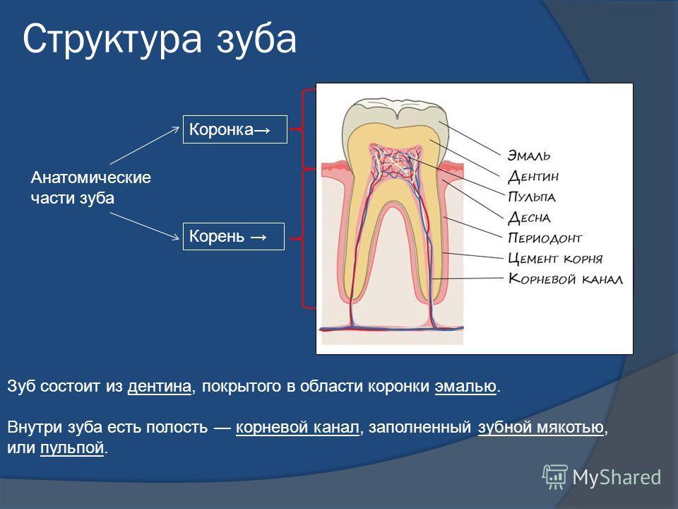 Структура зуба Зуб состоит из дентина, покрытого в области коронки эмалью. Внутри зуба есть полость корневой канал, заполненный зубной мякотью, или пульпой. Коронка Корень Анатомические части зуба