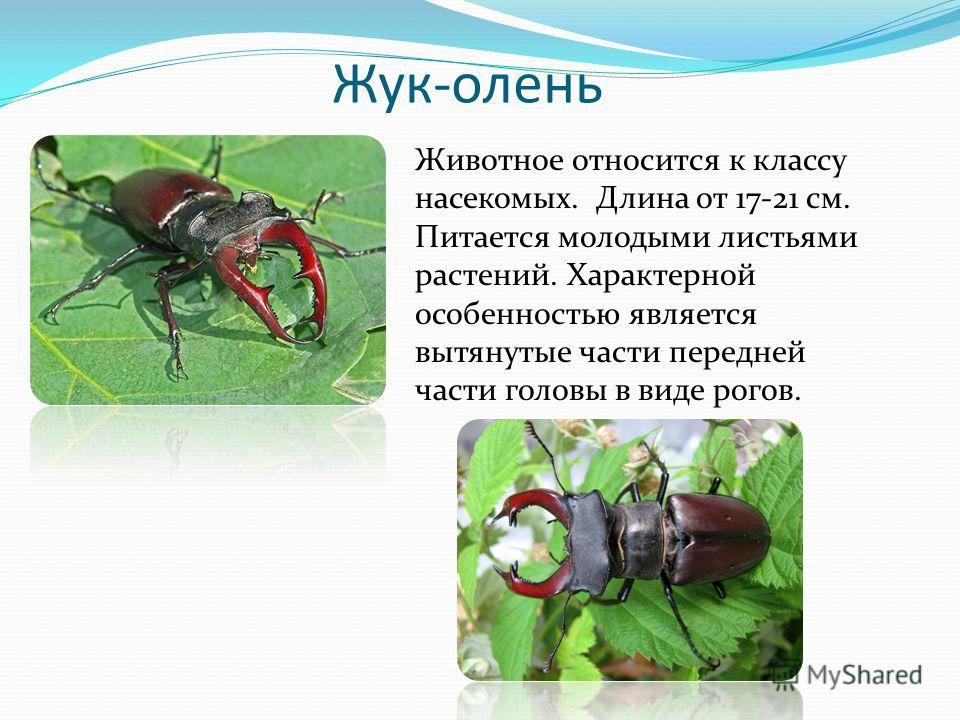 Жук-олень Животное относится к классу насекомых. Длина от 17-21 см. Питается молодыми листьями растений. Характерной особенностью является вытянутые части передней части головы в виде рогов.