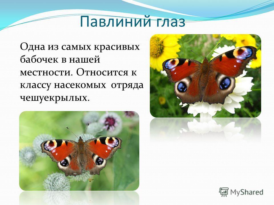 Павлиний глаз Одна из самых красивых бабочек в нашей местности. Относится к классу насекомых отряда чешуекрылых.