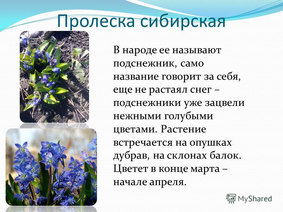 Пролеска сибирская В народе ее называют подснежник, само название говорит за себя, еще не растаял снег – подснежники уже зацвели нежными голубыми цветами. Растение встречается на опушках дубрав, на склонах балок. Цветет в конце марта – начале апреля.