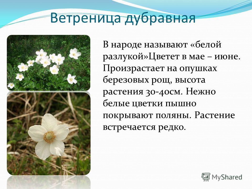 Ветреница дубравная В народе называют «белой разлукой»Цветет в мае – июне. Произрастает на опушках березовых рощ, высота растения 30-40 см. Нежно белые цветки пышно покрывают поляны. Растение встречается редко.