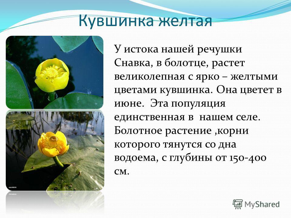Кувшинка желтая У истока нашей речушки Снавка, в болотце, растет великолепная с ярко – желтыми цветами кувшинка. Она цветет в июне. Эта популяция единственная в нашем селе. Болотное растение,корни которого тянутся со дна водоема, с глубины от 150-400