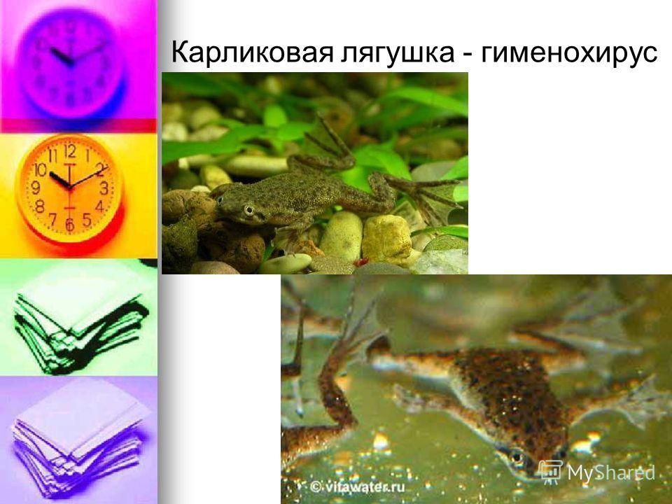 Карликовая лягушка - гименохирус