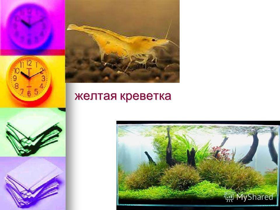 желтая креветка