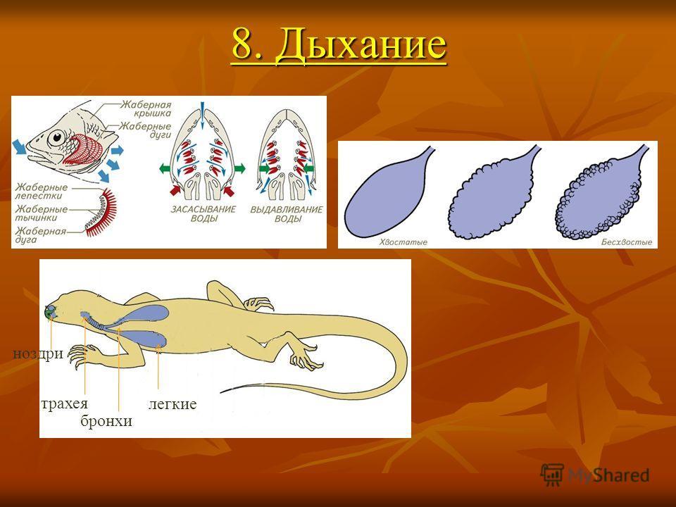8. Дыхание ноздри трахея бронхи легкие