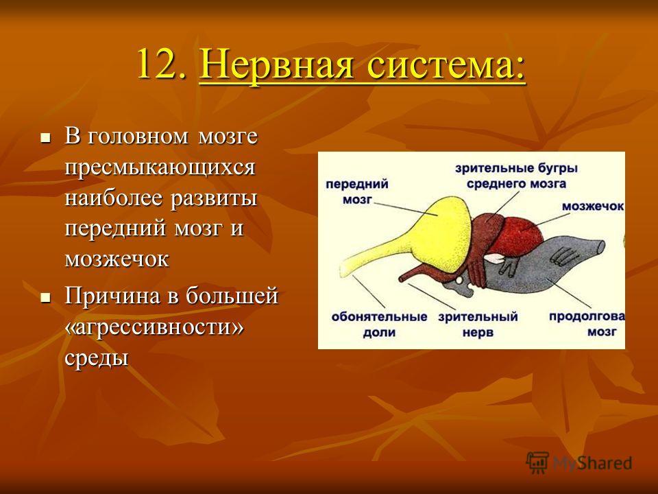 12. Нервная система: В головном мозге пресмыкающихся наиболее развиты передний мозг и мозжечок В головном мозге пресмыкающихся наиболее развиты передний мозг и мозжечок Причина в большей «агрессивности» среды Причина в большей «агрессивности» среды