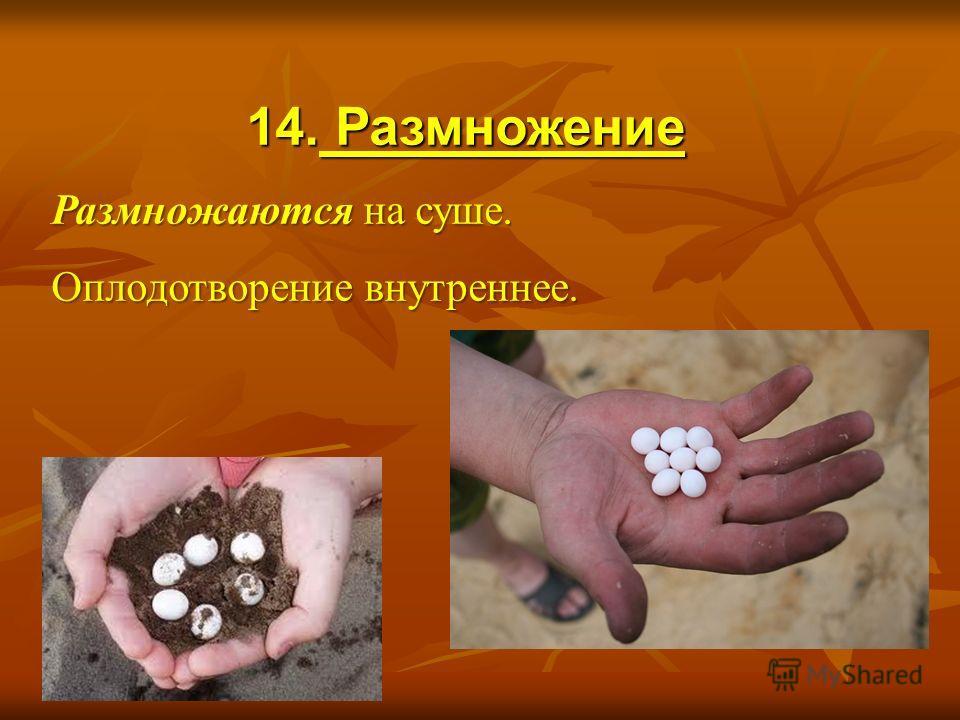 14. Размножение Размножаются на суше. Оплодотворение внутреннее.