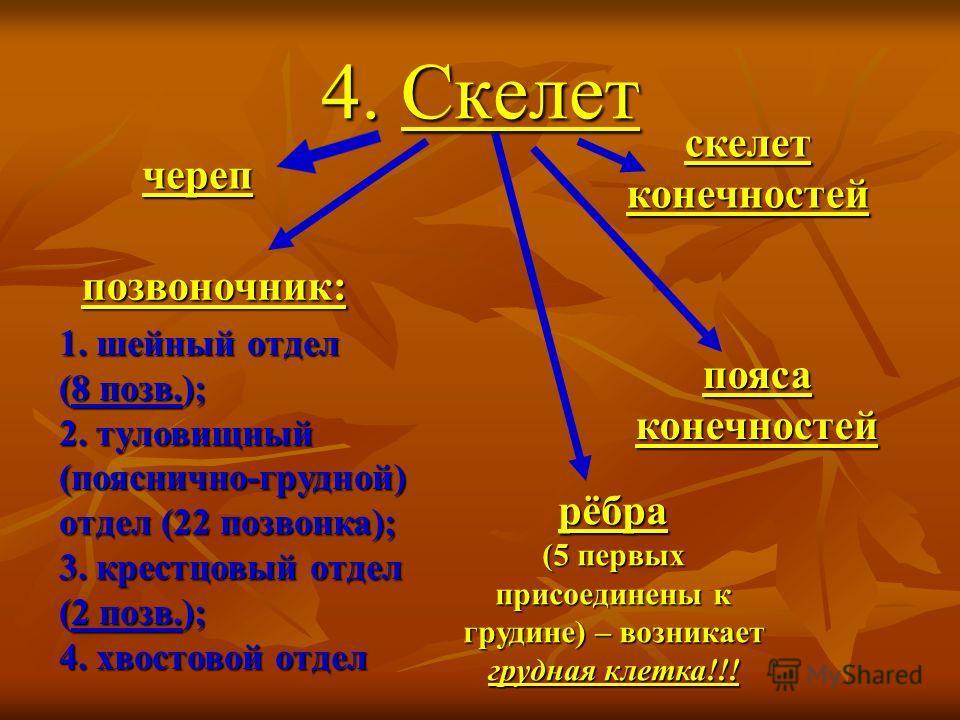 4. Скелет череп поз воночник: рёбра (5 первых присоединены к грудине) – возникает грудная клетка!!! пояса конечностей скелет конечностей 1. шейный отдел (8 поз в.); 2. туловищный (пояснично-грудной) отдел (22 поз вонка); 3. крестцовый отдел (2 поз в.