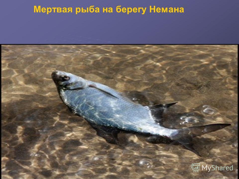 Мертвая рыба на берегу Немана