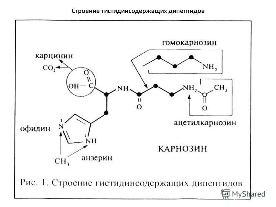 Строение гистидинсодержащих дипептидов