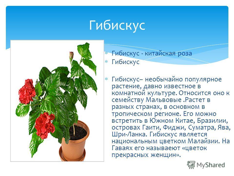 Гибискус - китайская роза Гибискус Гибискус– необычайно популярное растение, давно известное в комнатной культуре. Относится оно к семейству Мальвовые.Растет в разных странах, в основном в тропическом регионе. Его можно встретить в Южном Китае, Брази