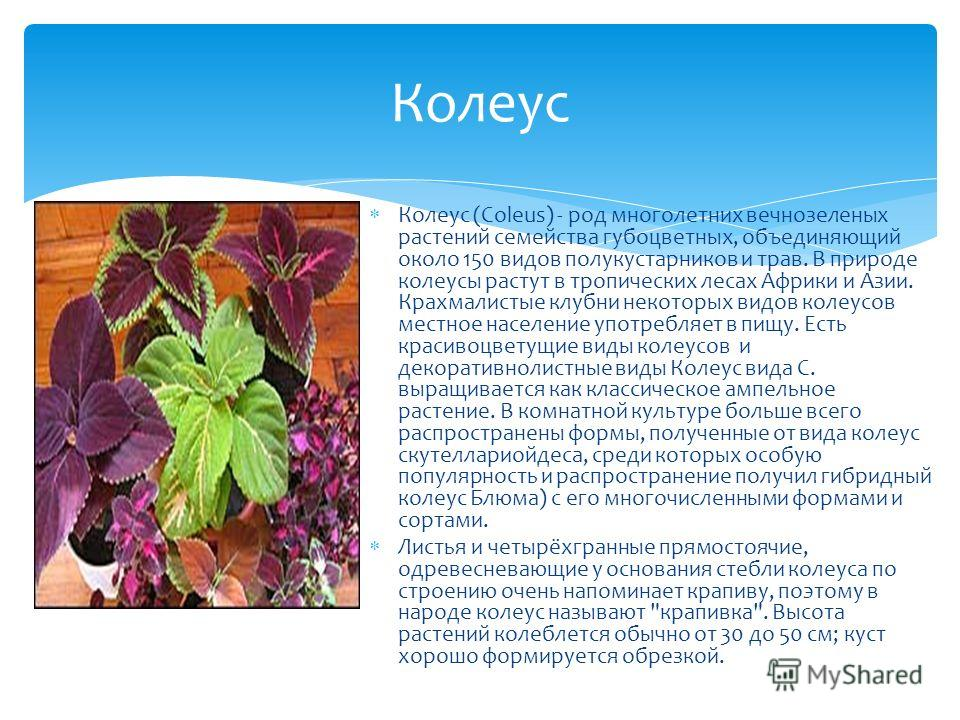Колеус (Coleus) - род многолетних вечнозеленых растений семейства губоцветных, объединяющий около 150 видов полукустарников и трав. В природе колеусы растут в тропических лесах Африки и Азии. Крахмалистые клубни некоторых видов колеусов местное насел