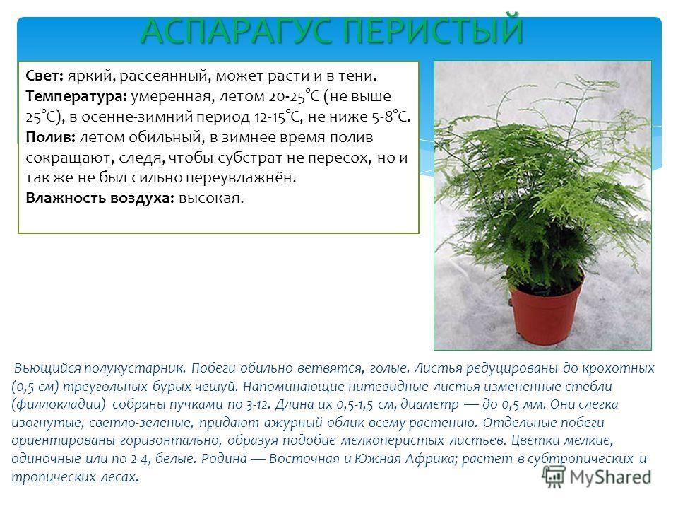 Вьющийся полукустарник. Побеги обильно ветвятся, голые. Листья редуцированы до крохотных (0,5 см) треугольных бурых чешуй. Напоминающие нитевидные листья измененные стебли (филлокладии) собраны пучками по 3-12. Длина их 0,5-1,5 см, диаметр до 0,5 мм.