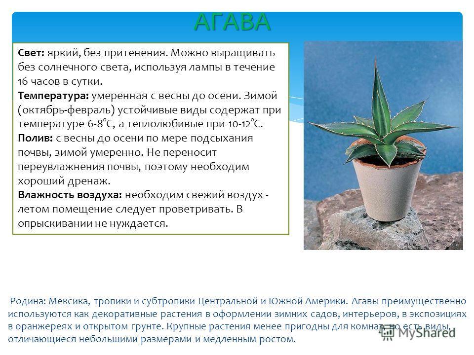 Родина: Мексика, тропики и субтропики Центральной и Южной Америки. Агавы преимущественно используются как декоративные растения в оформлении зимних садов, интерьеров, в экспозициях в оранжереях и открытом грунте. Крупные растения менее пригодны для к
