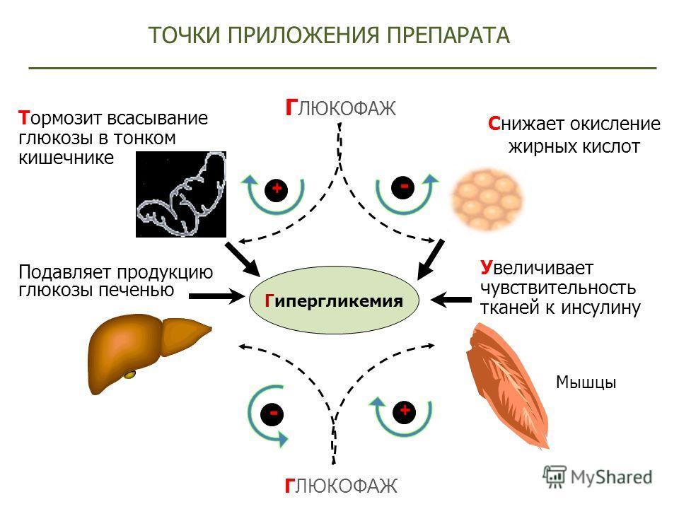 Гипергликемия Мышцы ТОЧКИ ПРИЛОЖЕНИЯ ПРЕПАРАТА - + Г ЛЮКОФАЖ Подавляет продукцию глюкозы печенью Увеличивает чувствительность тканей к инсулину Снижает окисление жирных кислот + - Г ЛЮКОФАЖ Тормозит всасывание глюкозы в тонком кишечнике