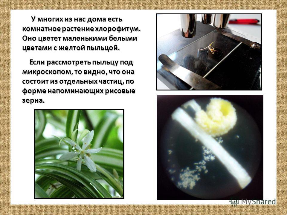 У многих из нас дома есть комнатное растение хлорофитум. Оно цветет маленькими белыми цветами с желтой пыльцой. У многих из нас дома есть комнатное растение хлорофитум. Оно цветет маленькими белыми цветами с желтой пыльцой. Если рассмотреть пыльцу по