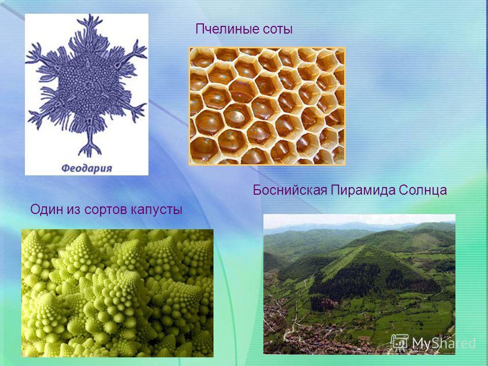 Пчелиные соты Один из сортов капусты Боснийская Пирамида Солнца