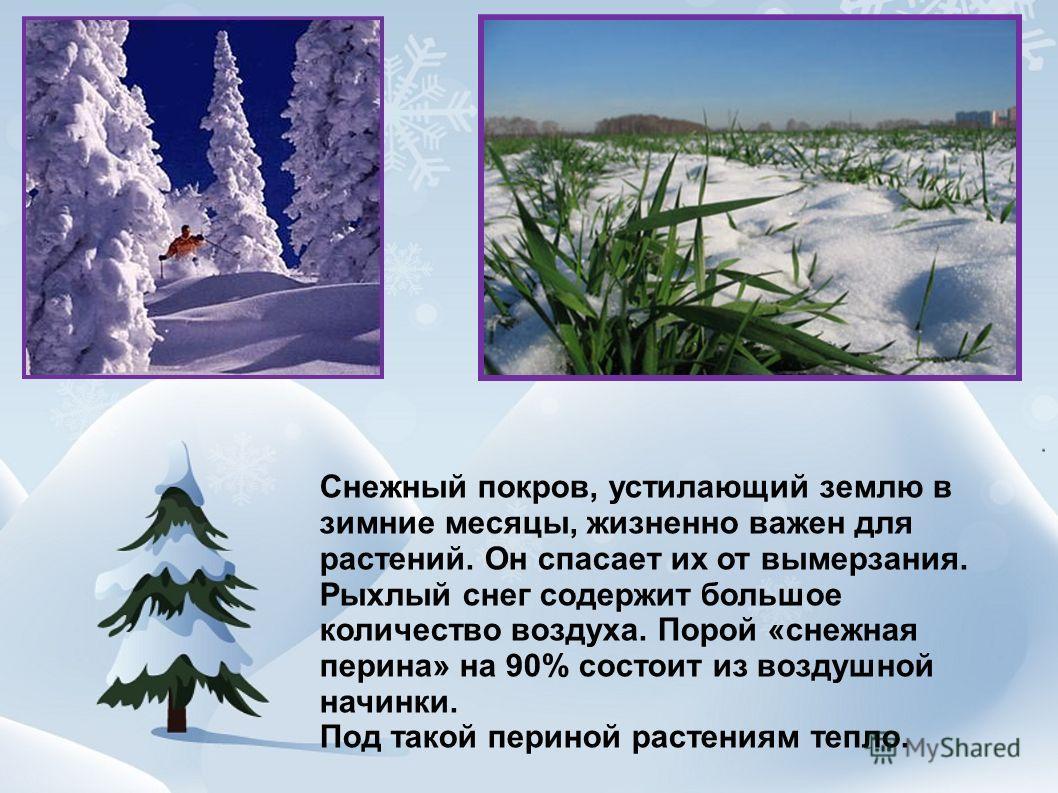 Снежный покров, устилающий землю в зимние месяцы, жизненно важен для растений. Он спасает их от вымерзания. Рыхлый снег содержит большое количество воздуха. Порой «снежная перина» на 90% состоит из воздушной начинки. Под такой периной растениям тепло