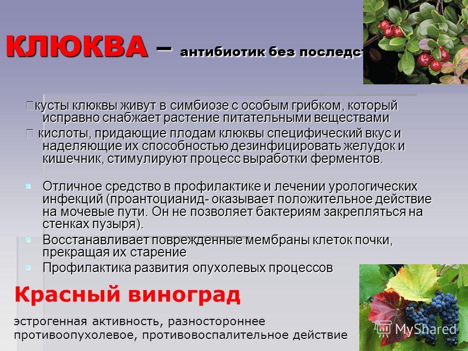КЛЮКВА – антибиотик без последствий кусты клюквы живут в симбиозе с особым грибком, который исправно снабжает растение питательными веществами кусты клюквы живут в симбиозе с особым грибком, который исправно снабжает растение питательными веществами