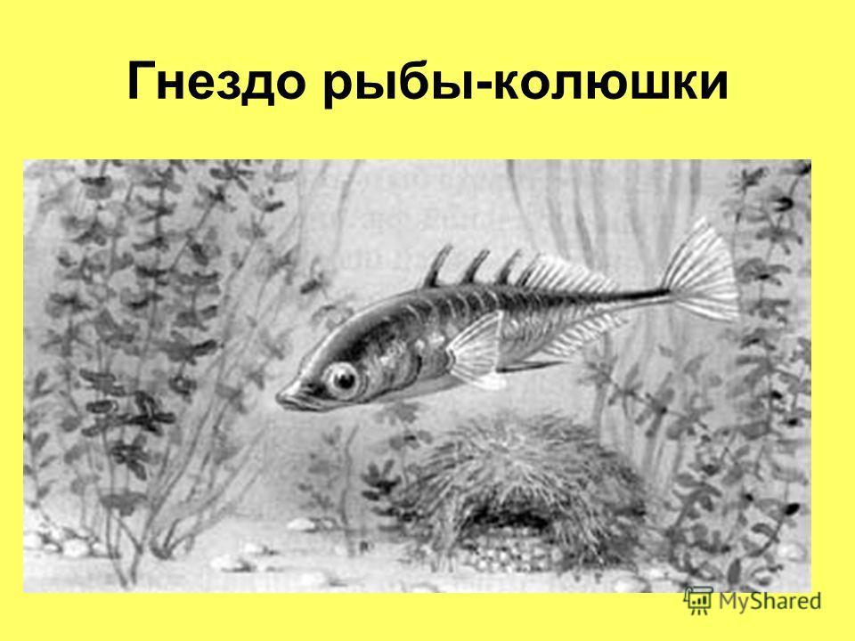 Гнездо рыбы-колюшки