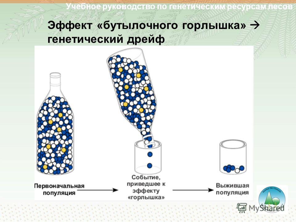 Эффект «бутылочного горлышка» генетический дрейф