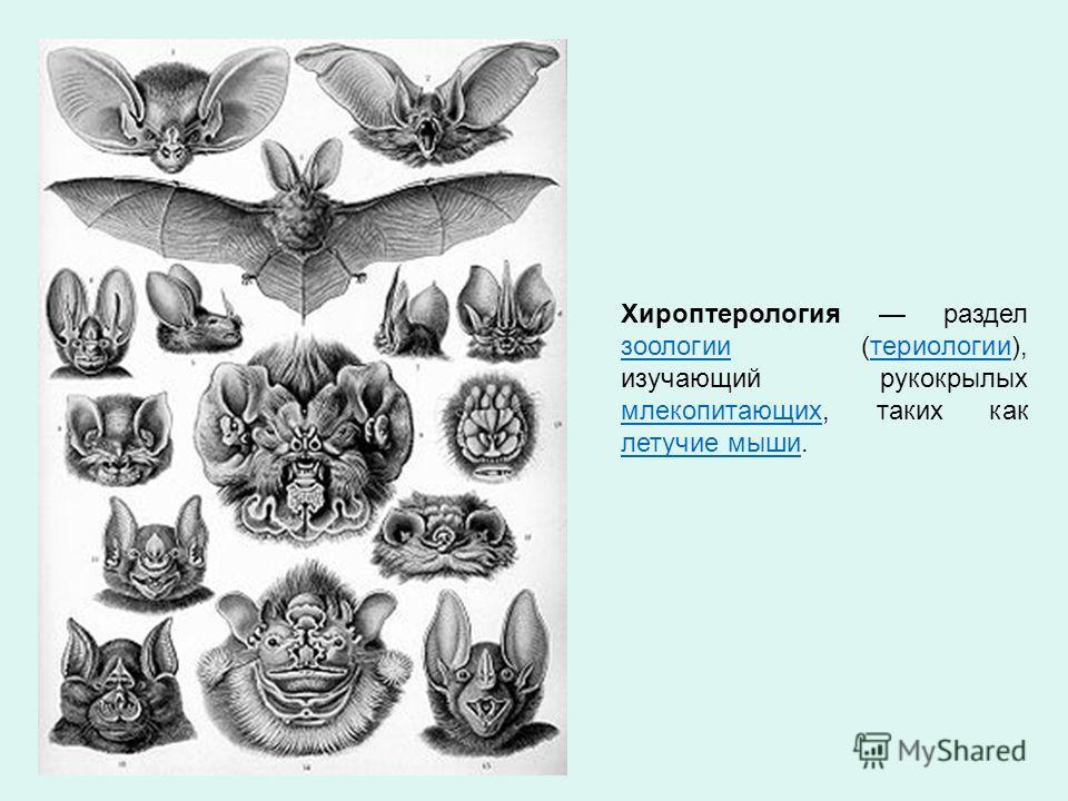 Хироптерология раздел зоологии (териологии), изучающий рукокрылых млекопитающих, таких как летучие мыши. зоологиитериологии млекопитающих летучие мыши
