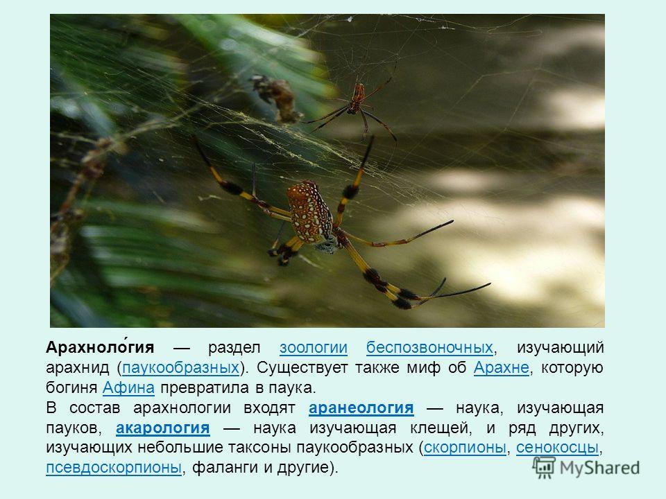 Арахноло́гия раздел зоологии беспозвоночных, изучающий арахнид (паукообразных). Существует также миф об Арахне, которую богиня Афина превратила в паука.зоологиибеспозвоночныхпаукообразных АрахнеАфина В состав арахнологии входят аранеология наука, изу