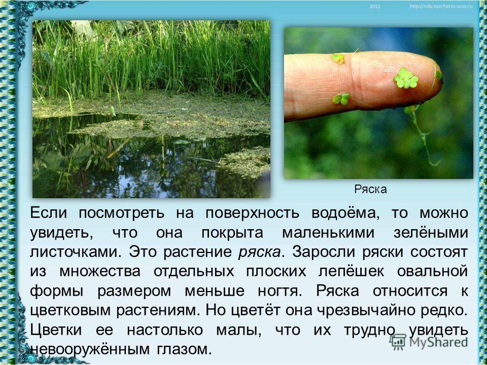 Если посмотреть на поверхность водоёма, то можно увидеть, что она покрыта маленькими зелёными листочками. Это растение ряска. Заросли ряски состоят из множества отдельных плоских лепёшек овальной формы размером меньше ногтя. Ряска относится к цветков