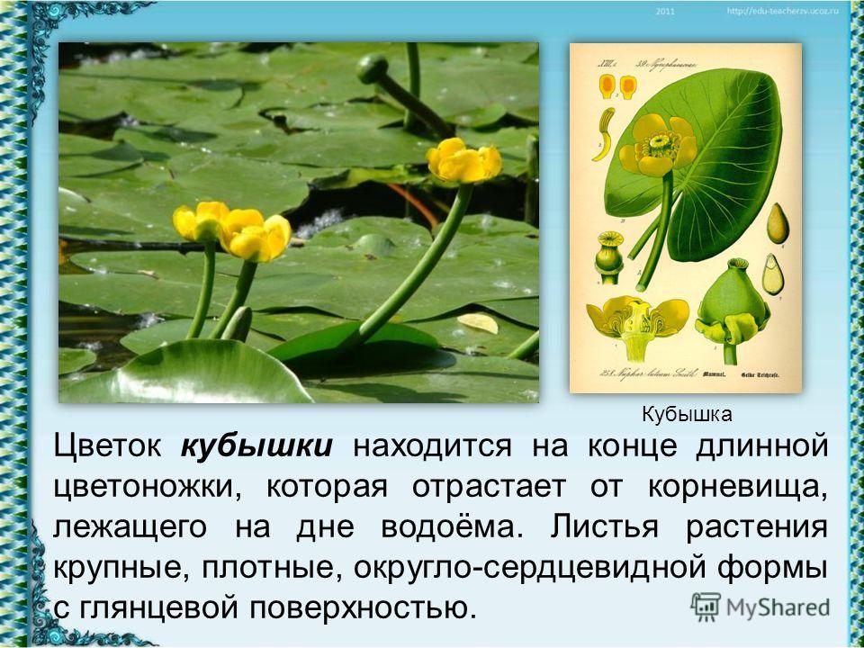 Цветок кубышки находится на конце длинной цветоножки, которая отрастает от корневища, лежащего на дне водоёма. Листья растения крупные, плотные, округло-сердцевидной формы с глянцевой поверхностью. Кубышка