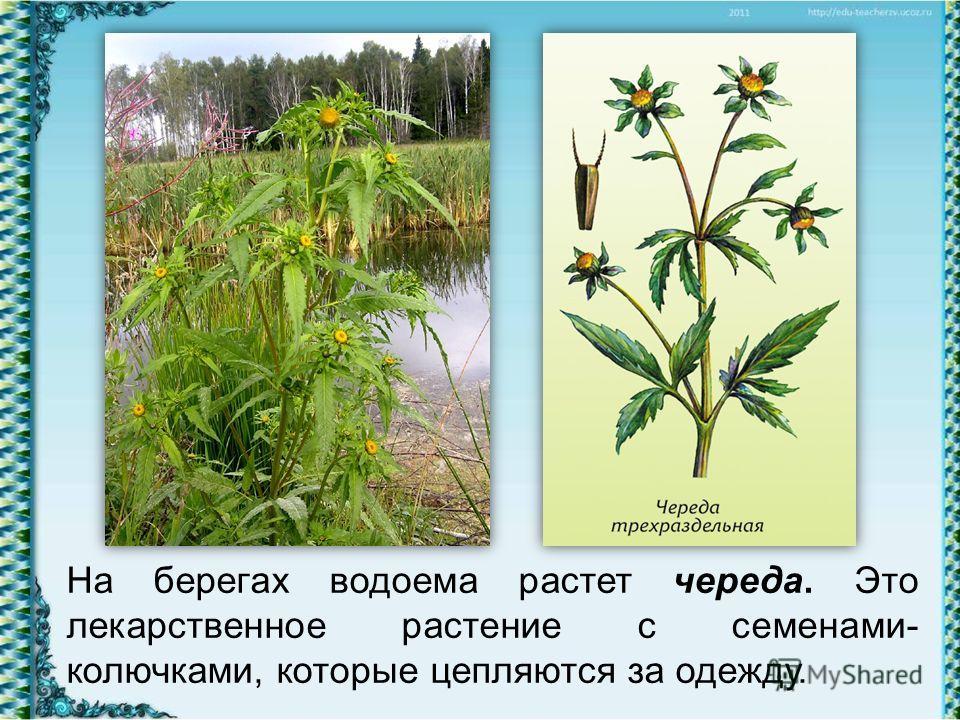 На берегах водоема растет череда. Это лекарственное растение с семенами- колючками, которые цепляются за одежду.