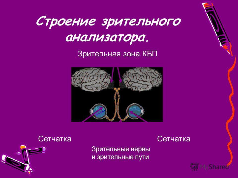 Строение зрительного анализатора. Сетчатка Зрительные нервы и зрительные пути Зрительная зона КБП